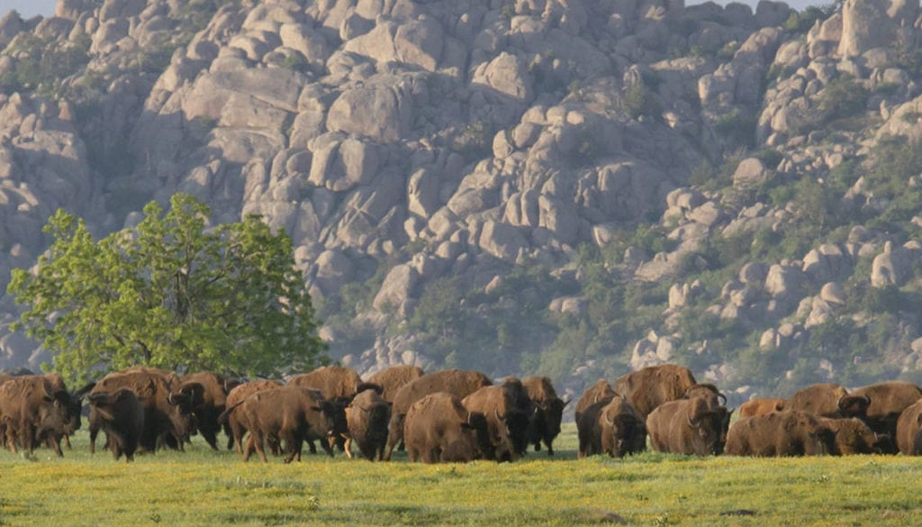 Bison Herd. Wichita Mountains Wildlife Refuge. Photo courtesy of Larry Smith.