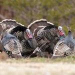 Photo of wild turkeys - Wichita Mountains Wildlife Refuge