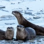 Photo of otters on an icy lake at the Wichita Mountains Wildlife Refuge