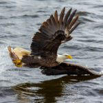Oklahoma Bald Eagle Watching Guide
